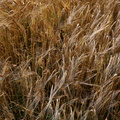Agro Field 012