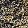Sea Seaweed 004