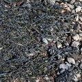 Sea Seaweed 007