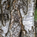 Nature Tree Trunk 032