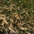 Nature Grass Dry 003