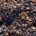Sea Seaweed 021