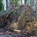 Debris Conifers 002
