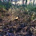 Debris Conifers 003