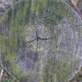 Nature Tree Rings 028