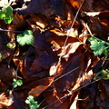 Ground Leaves 016