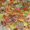 Ground Leaves 018