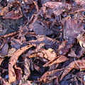Ground Leaves 022