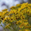 Nature Flowers 066