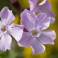 Nature Flowers 077