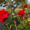 Nature Flowers 087