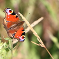 Fauna Insects 105