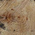 Nature Tree Rings 081