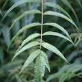 Nature Leaves 038