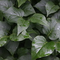Nature Leaves 041