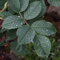 Nature Leaves 042