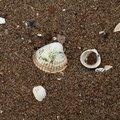 Sea Seashells 040
