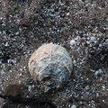 Sea Seashells 042