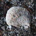 Sea Seashells 044