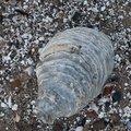 Sea Seashells 033