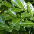 Nature Leaves 066